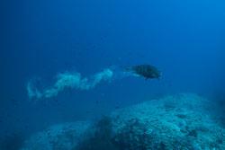 BD-150425-Maldives-8500-Scarus-rubroviolaceus.-Bleeker.-1847-[Ember-parrotfish].jpg